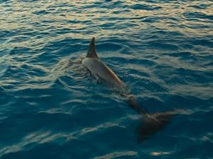 Marine mammals in St Maarten waters. Photo credit- Henkjan Kievit: SHAPE/DCNA