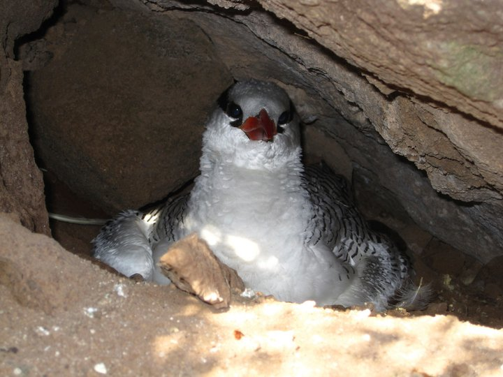 Tropicbird Nesting on Saba