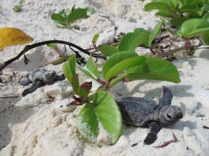 Critically Endangered Hawksbill Turtles Hatching on Bonaire