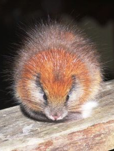 The Red-Crested Tree Rat photographed for the first time at El Dorado Nature Reserve, Colombia
