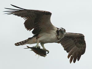 Osprey Photo credit- Rostislav Stach: SHAPE/DCNA