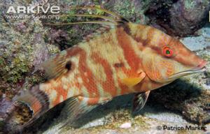 ARKive - Hogfish photo - Lachnolaimus maximus - G81937 www.arkive.org