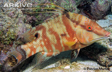 ARKive - Hogfish photo - Lachnolaimus maximus - G81937 www.arkive.org