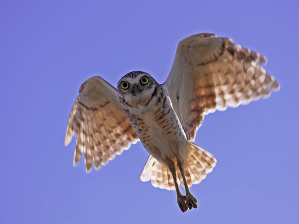 Aruban Burrowing Owl. Photo Credit - Diego Marquez