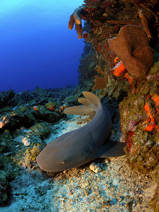 Nurse shark. Photo credit- Hans Leijnse: SHAPE/DCNA