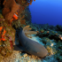 Nurse shark on Saba Bank. Photo credit- Hans Leijnse: SHAPE/DCNA