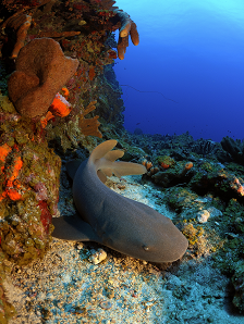 Nurse shark on Saba Bank. Photo credit- Hans Leijnse: SHAPE/DCNA