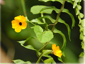 Black-eyed Susan vine on Saba. Photo credit Christian König: SHAPE/DCNA