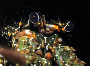 Caribbean Spiny Lobster. Photo credit Hans Leijnse: SHAPE/DCNA