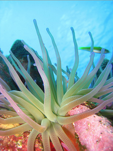The C. gigantea, also known as the Giant Caribbean Sea Anemone was photographed by Mark Vermeij on a reef near Westpunt on Curaçao, CARMABI, Curaçao.