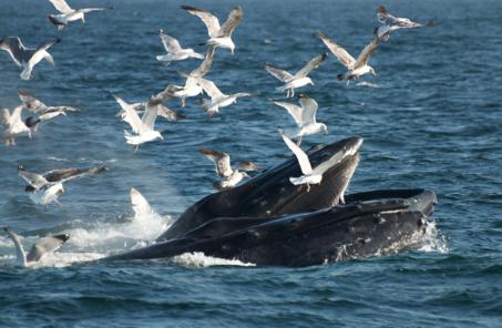 A humpback whale feeding at the Stellwagen Bank National Marine Sanctuary. - Photo credit: Kai Wulf