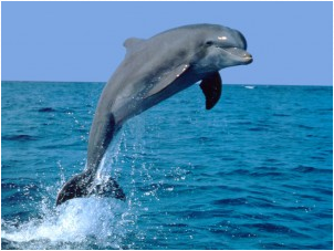 Bottlenose and spinner dolphins travel in social groups and communicate with each other by a complex system of squeaks and whistles. They track their prey through the use of echolocation just like bats, their cavern dwelling mammalian relatives. Dolphins make up to 1,000 clicking noises per second. These sounds travel underwater until they encounter objects, then bounce back to their dolphin senders, revealing the location, size, shape, and movement of their target.