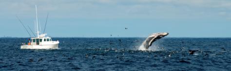 reaching humpback whale at Stellwagen National Marine Sanctuary. Photo credit - Kai Wulf