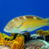 parrotfish-300x199 on Saba Reef