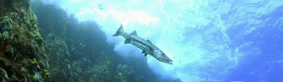 Barracuda photographed from below in the Saban reef drop-off. Photo Credit: (c) 2012 Hans Leijnse — SHAPE/DCNA