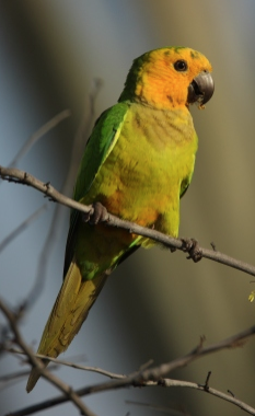 Brown-throated Parakeet (Aratinga pertinax xanthogenia), credits: SHAPE/DCNA (c) 2012