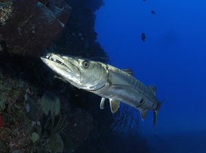 A close encounter with a Great Barracuda in Saba. Photo Credit: (c) 2012 Hans Leijnse — SHAPE/DCNA
