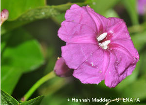 ipomoea sphenophylla SMG
