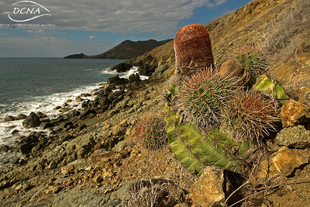 The Pope's Head Cactus on the coast of St. Maarten