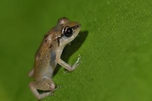 eleutherodactylus-johnstonei-copy