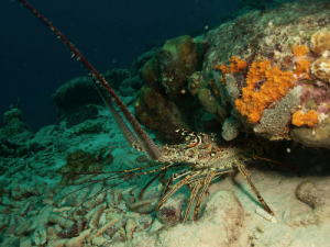 caribbean-spiny-lobster