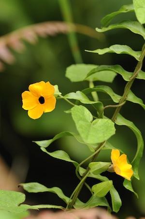 Black-eyed Susans Thunbergia alata are the national flower of Saba  Photo credit Christian König: SHAPE/DCNA