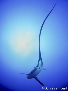 tresher shark, tegenlicht