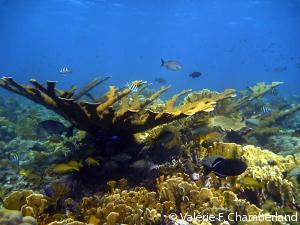 Elkhorn-coral