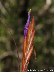 FloraABC-Tillandsia balbisiana