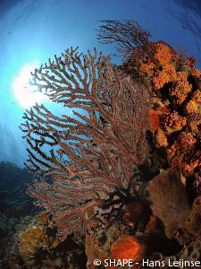 Saba Bank coral
