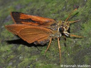 Butterfly Wallengrenia