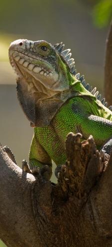 iguana-long