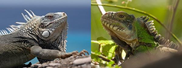 two-iguana-species