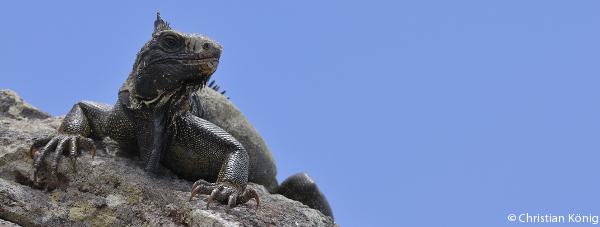 saba-iguana