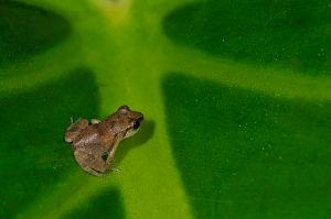 Lesser_Antillean_Frog
