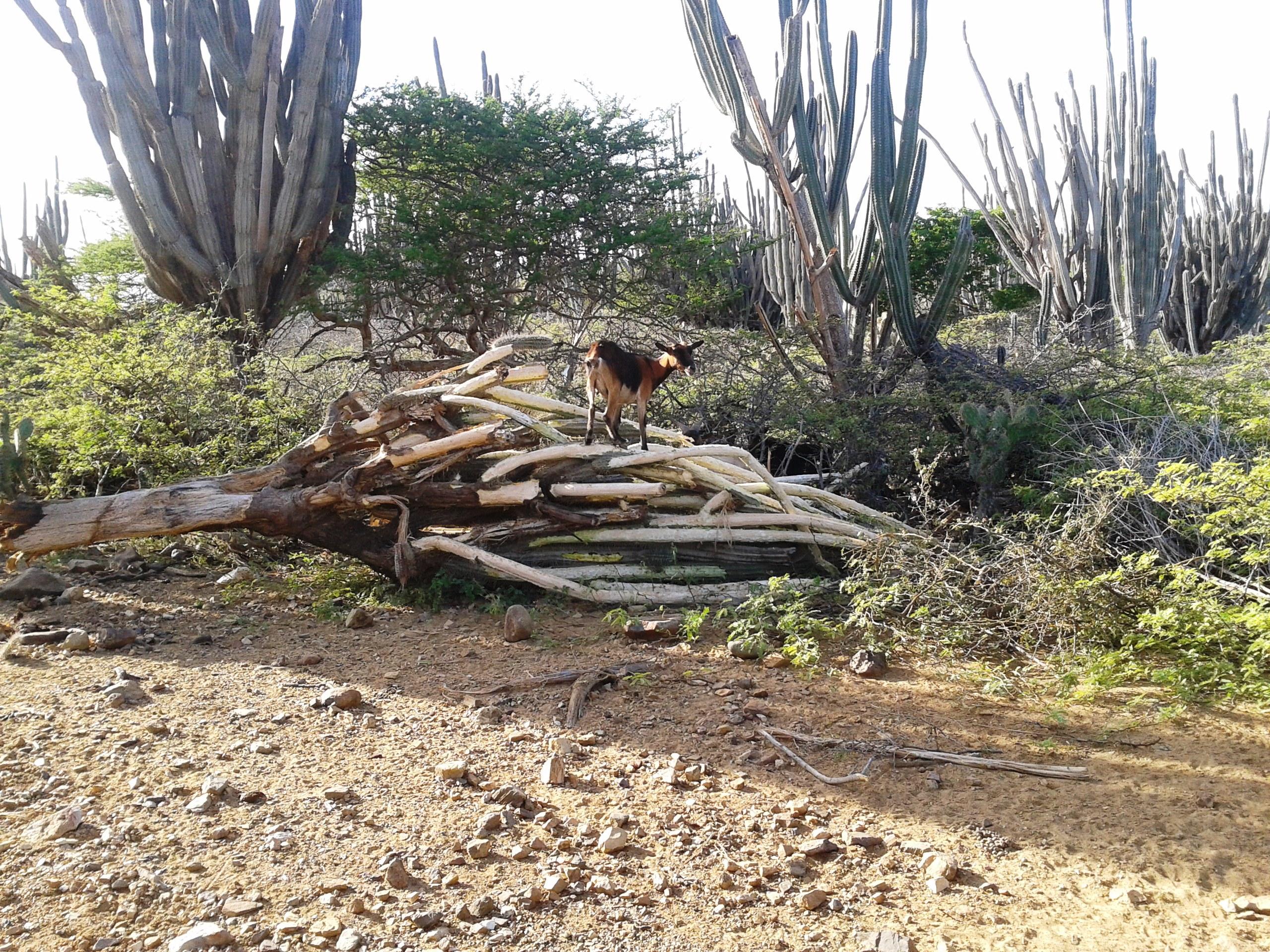 Invasive goats (Paulo Bertuol STINAPA Bonaire)