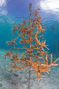 Coral-Reef-Restoration-Beth-Watson-CRF-Bonaire-
