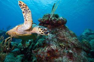 Hawksbill turtle by Brenda Kirkby