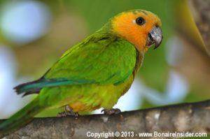 Prikichi Declared Aruba National Bird Dcna