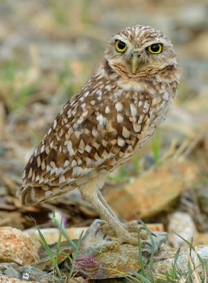 Aruban Burrowing Owl Detail Page Dcna