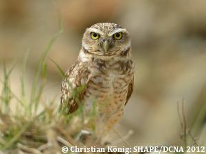 Aruban Burrowing Owl Dcna
