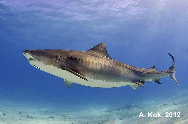Images Of Sharks Tiger Shark | DCNA