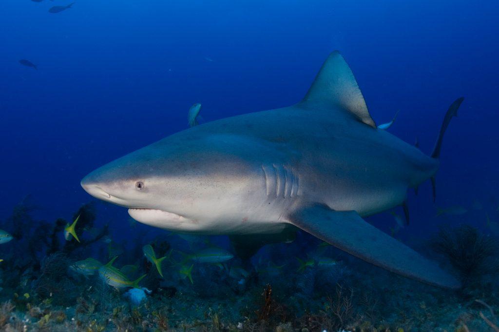 Bull Shark Dcna